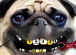 Pug no Dentista